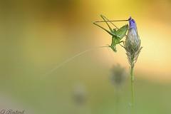 Antennes relais (Gaël B) Tags: insecte insekt bug nature natur proxy macro makro sauterelle orthoptere grasshopper