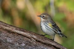 6377 (Eric Wengert Photography) Tags: setophaga setophagacoronata yellowrumpedwarbler bird passerine songbird