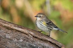 6376 (Eric Wengert Photography) Tags: setophaga setophagacoronata yellowrumpedwarbler bird passerine songbird