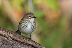 6375 (Eric Wengert Photography) Tags: setophaga setophagacoronata yellowrumpedwarbler bird passerine songbird