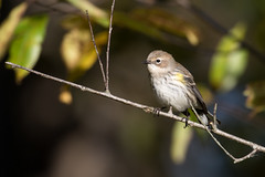6374 (Eric Wengert Photography) Tags: setophaga setophagacoronata yellowrumpedwarbler bird passerine songbird