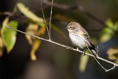 6373 (Eric Wengert Photography) Tags: setophaga setophagacoronata yellowrumpedwarbler bird passerine songbird