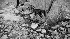 Yucca growing in rocks (DayBreak.Images) Tags: suburban atlanta georgia dekalbcounty arabiamtn naturepreserve rocks yucca canondslr meyeroptic 50mm trioplan canonphotopro4 bw