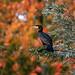 The perched cormorant