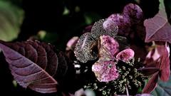 Hortensie im Herbst (hydrangea) (dl1ydn) Tags: dl1ydn hortensie autumn herbst blossom blüten carlzeiss planar 50mmf2 vintage manuell manualfocus 50mm jpeg kb garden leaves contarex