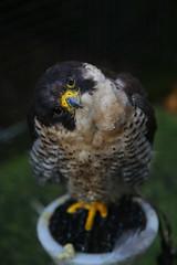 Inquisitive Peregrine Falcon (crafty1tutu (Ann)) Tags: travel holiday 2019 animal bird peregrinefalcon inquisitive crafty1tutu anncameron ef24105mmf4lisusm canon5dmkiii naturethroughthelens