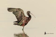Morito común (Plegadis falcinellus) (jsnchezyage) Tags: moritocomún plegadisfalcinellus ave pájaro bird birding birdwatching ornithology beak feather glossyibis ibis ngc npc