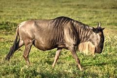 Ngorongoro (Enrica F) Tags: ngorongoro tanzania áfrica nikon nature safari wildlife