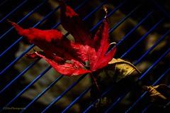 Roter Fächerahorn (Fay2603) Tags: autumn herbst blätter coloured bunt rot blau gelb autunno fuji fujifilm fujifilmxt1 light shadow licht schatten