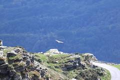 Vautour fauve (CHRISTOPHE CHAMPAGNE) Tags: 2019 france pyrénee atlantique pays basque train rhune sare vautour fauve gyps fulvus