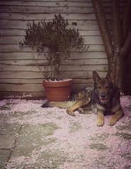 My Dog Resting on Spring Blossom (suzankirvar) Tags: dog spring blossom