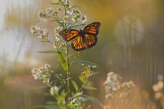 Monarque du soir (Nicole Barge) Tags: monarque papillon butterfly findété 2019 danaus plexippus danausplexippus insecte orange imago femelle