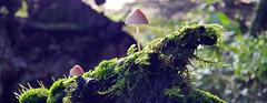 Surf A Forest Wave (D U B L) Tags: psilocybe semilanceata magic mushroom liberty cap uk england forest autumn spider web