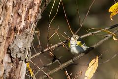 6371 (Eric Wengert Photography) Tags: setophaga setophagacoronata yellowrumpedwarbler bird passerine songbird