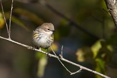 6372 (Eric Wengert Photography) Tags: setophaga setophagacoronata yellowrumpedwarbler bird passerine songbird