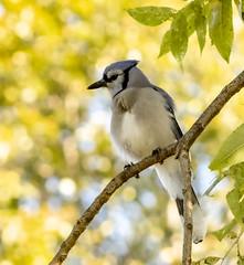 Blue Jay (mahar15) Tags: jay outdoors wildlife bluejay bird nature
