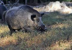 Wildschwein/Wild boar (babsbaron ( Bella )) Tags: nature naturfotografie naturephotographie tiere tierfotografie animals animalphotographie mammals wildschwein wildboar tierpark wildpark animalpark säugetiere