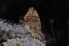 Kleiner Perlmutterfalter - Issoria lathonia (naturgucker.de) Tags: ngid1456155196 issorialathonia kleinerperlmutterfalter