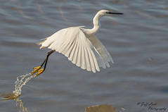 DSC9843  Little Egret... (Jeff Lack Wildlife&Nature) Tags: littleegret egret egrets avian animal animals birds bird birdphotography wildlife wildbirds wetlands waterbirds waterways waders wildlifephotography jefflackphotography lakes ponds estuaries estuary reservoirs reeds reedbeds riverbirds rivers scrapes seashore countryside coastalbirds coastline coast marshland marshes nature nikon naturephotography ornithology