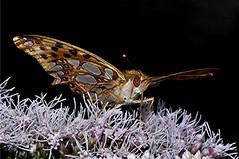 Kleiner Perlmutterfalter - Issoria lathonia (naturgucker.de) Tags: ngidn1201973592 issorialathonia kleinerperlmutterfalter