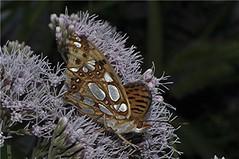 Kleiner Perlmutterfalter - Issoria lathonia (naturgucker.de) Tags: ngid917834279 issorialathonia kleinerperlmutterfalter