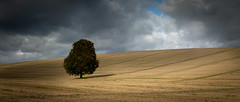 Alone (paullangton) Tags: alone hertfordshire landscape country field stubble tree sky clouds shadow green nature lonetree hay weather