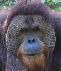 Orangutan at the Cincinnati Zoo (emeagen) Tags: d500 nikon ohio zoo cincinnati orangutan