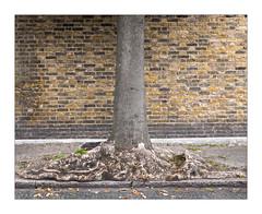 The Built Environment, East London, England. (Joseph O'Malley64) Tags: beechtree beechbark roots rootsystem fallenleaves beechleaves victorianhouse hackney eastlondon london england uk britain british greatbritain brickwork bricksmortar cement pointing repointing coalsootdamage tarmac granitekerbing urban urbanlandscape rain damp thebuiltenvironment newtopography newtopographics manmadeenvironment manmadestructure building structure housing home dwelling abode waterdamage frostdamage acidraindamage hygroscopicsaltsinbrickwork architecture urbanarchitecture documentaryphotography britishdocumentaryphotography fujix fujix100t accuracyprecision