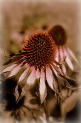 Autumnal Cone (dhcomet) Tags: coneflower garden gadebridge park hemel hempstead herts hertfordshire echinacea