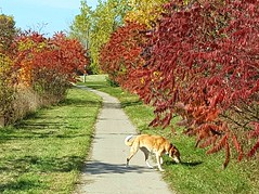 10/12 Months for Skye (ginam6p) Tags: dog fall colours hound toronto 2019