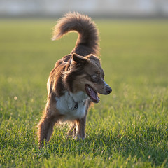 Leni (Hans Zitzler) Tags: dog autumn sunset australian shepherd