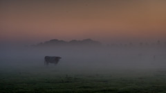 Morgenstimmung in Ostfriesland (twheide) Tags: dawn cow morning fog foggy ostfriesland eastfriesland moody fujifilm xt20 morgennebel morgendämmerung