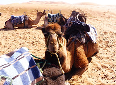 Camels in the Sahara (suzankirvar) Tags: camels sahara desert northafrica
