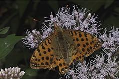 Kleiner Perlmutterfalter - Issoria lathonia (naturgucker.de) Tags: ngidn1047937508 issorialathonia kleinerperlmutterfalter