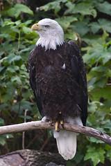 Bald Eagle at the Cincinnati Zoo (emeagen) Tags: d500 nikon ohio zoo cincinnati baldeagle