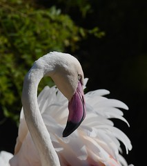 Flamingo at the Cincinnati Zoo (emeagen) Tags: ohio zoo nikon cincinnati flamingo d500 pink