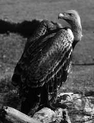 Ruppell's Vulture at the Cincinnati Zoo (emeagen) Tags: ohio bw zoo cincinnati vulture nikon d500