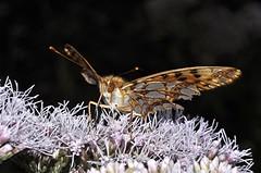 Kleiner Perlmutterfalter - Issoria lathonia (naturgucker.de) Tags: ngid1756142739 issorialathonia kleinerperlmutterfalter