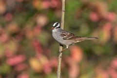 White-crowned sparrow (Joe Branco) Tags: green ontario canada macro beautiful branco photoshop joe sparrow lightroom whitecrownedsparrow nikond850 joebrancophotographer