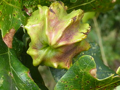Andricus quercuscalicis  201408123811