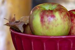 Fall means Honey Crisps! (Karon Elliott Edleson) Tags: apples honeycrisps fall autumn harvest lookingcloseonfriday stilllifewithfruit stilllife autumncolors closeup macro yummy
