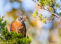 American Robin , Turdus Migratorius , Merle d'Amerique (erenatial) Tags: damerique merle migratorius turdus american robin baie juniper