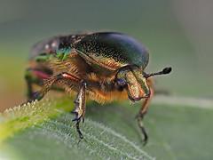 später Herbstkäfer (jschn1) Tags: em11 60er makro focusstacking natur insekten käfer