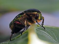 Käfer noch ohne Namen (jschn1) Tags: em11 60er makro focusstacking natur insekten käfer