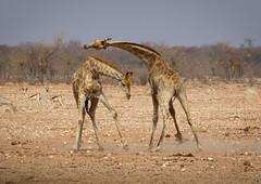 Giraffes - Girafes (charbonjoh) Tags: girafe giraffe namibia namibie etoshanationalpark canoneos7dmarkii canonef100400mmf4556lisiiusm