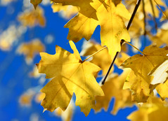 Maples (Karen McQuilkin) Tags: maples yellow blueyellow ikeatree swedish yard utah