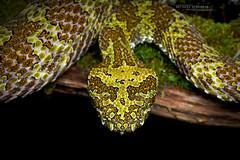 Protobothrops mangshanensis (Matthieu Berroneau) Tags: sony alpha nature wildlife animal fe90f28macrogoss sonya7iii sonya7mk3 sonyalpha7mark3 sonyalpha7iii a7iii 7iii 7mk3 sonyilce7m3 sonyfesonyfe2890macrogoss objectifsony90mmf28macrofe sel90m28g herp herping chine china endemic rare amazing cryptic reptile reptilian reptilia serpent snake endémique protobothrops mangshanensis crotale de mangsha protobothropsmangshanensis crotaledemangsha mangshan pit viper mangshanpitviper zhaoermia ermia trimeresurus pitviper mt mang mountain mtmangpitviper mangmountainpitviper chinese