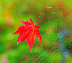 Arrested Fall (L@nce (ランス)) Tags: red leaf fall autumn butchart macro gardens victoria spider web nikon britishcolumbia brentwoodbay bokeh
