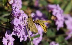 Fiery skippers (TJ Gehling) Tags: insect lepidoptera butterfly hesperiidae skipper skipperbutterfly fieryskipper hylephila hylephilaphyleus plant flower lamiales lamiaceae elcerrito flight insectflight