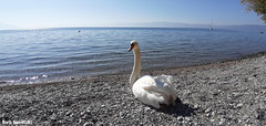 Under the October sun (borisnaumoski) Tags: ohrid macedonia lake beach swan bird autumn october sunny nature